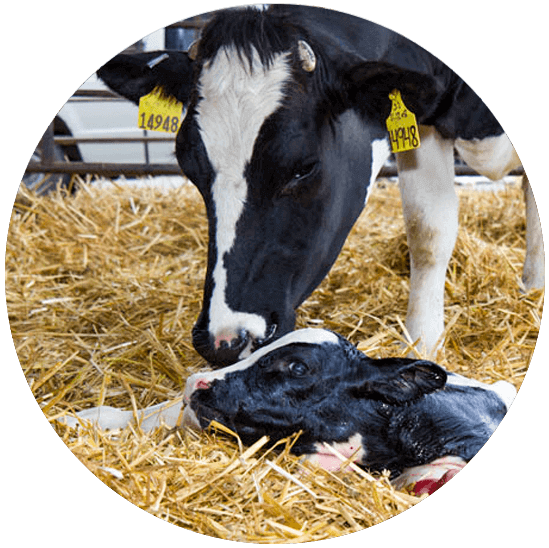 Calf and Cow immediately following birth